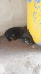 Rottweiler puro