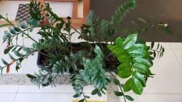 Vaso com Zamioculca plantada