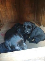 Filhotes Labrador Disponível