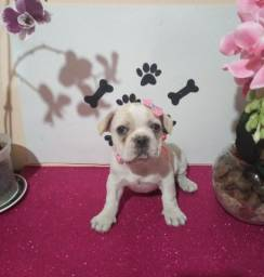 Linda fêmea bulldog francês