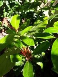 Planta ixoria africana