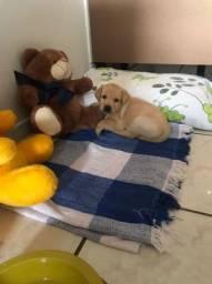 Labradora filhote