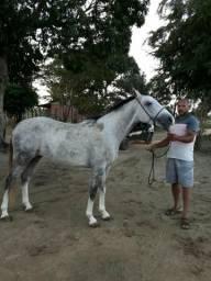 Cavalo quarto de milha,pai puro e mãe mestiça 4 anos