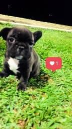 Filhote de Bulldog francês com pedigree
