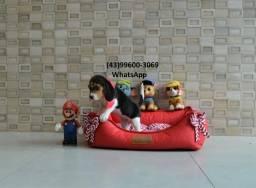 Filhotes maravilhosos de Beagle