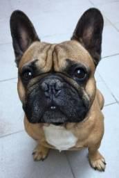 Procuro Bulldog Francês para cruza