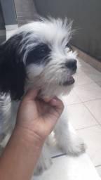 Vendo  cachorro de 3 meses e meio da raça shitzu com Lhasa