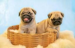 Lindos filhotes de pugs perfeição os pais e avós com pedigree CBKC