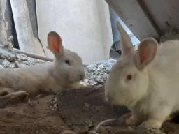 Vendo casal de coelhos e um  filhote.