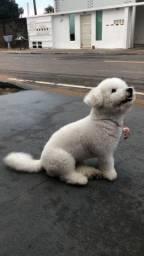 Poodle Macho para cruzar