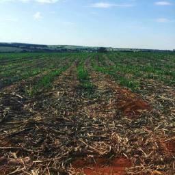 Fazenda Extra de Cana | 26 Alqueires | Valor oportunidade