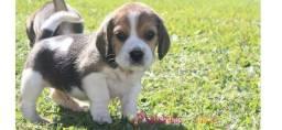 Maravilhosos Beagle