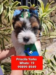 Yorkshire terrier Biwer biro filhotes