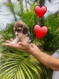Beagle mine de 13 polegadas