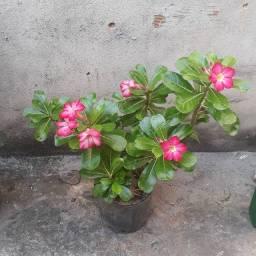 Rosa do Deserto.