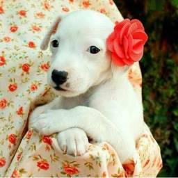 Lindos labrador x dog argentino.  Realmente são tops