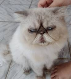 Procuro gata persa
