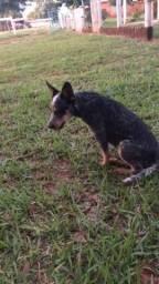 Cachorro Burriler