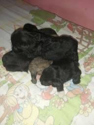Vende-se Filhotes de cachorro da raça poodle