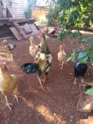 acabando com os frangos
