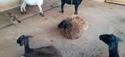 Vendo 550 cada ovelha