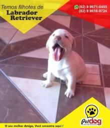 Lindos filhotes de Labrador Retriever (machos e fêmeas) whats (82) 99671-0455 Pet Dog