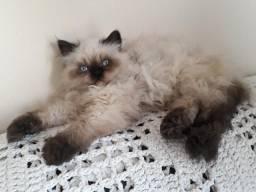 Gato Macho Persa Pet Himalaio 5 meses Vacinado