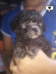 Poodle n° 1 macho