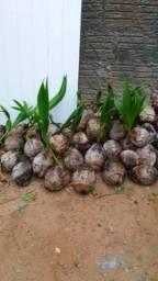 Muda de coco