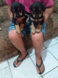 Vende se filhotes de Rottweiler