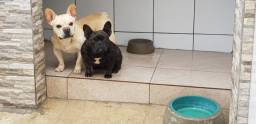 Belo casal de bulldog francês