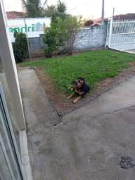Doa-se cachorra mestiço rottweiler