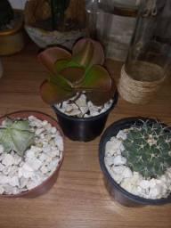 Cnj cm 2 cactos e uma kalanchoe tysiflora