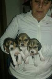 Beagles Filhotes, Lindos D+, um Luxo, 13 Polegadas, Mini