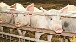 Vendo porcos 18e 20 kilos