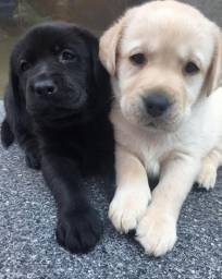 Filhotes de Labrador Preto