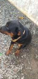 Doando Rottweiler 5 meses
