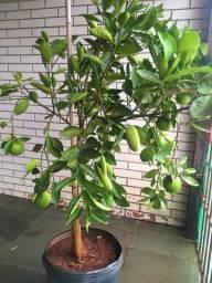 Árvore de laranja - laranjeira