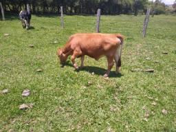 Vendo Mini-vaca