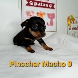Pinscher Venha se encantar