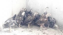 Franguinhos China