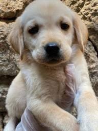 Labrador - Com Pedigree