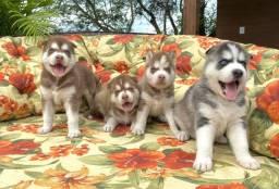 Bebês Husky Siberiano