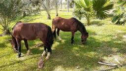 Cavalos pequiras