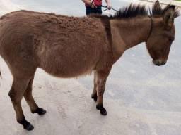 vendo burro mestiço com égua