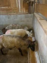 Ovelhas e carneiro texel