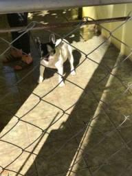 Bulldog francês macho vacinado