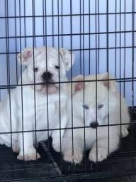 Bulldog Inglês - Macho Branco Sólido Disponível - Excelente Padrão Genético