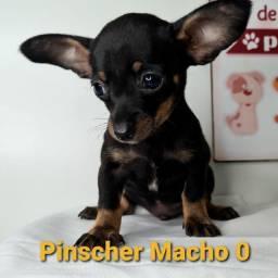 Pinscher com garantia e procedência
