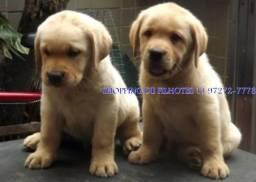 Labrador linhagem campeã - disponíveis com pedigree - entre em contato